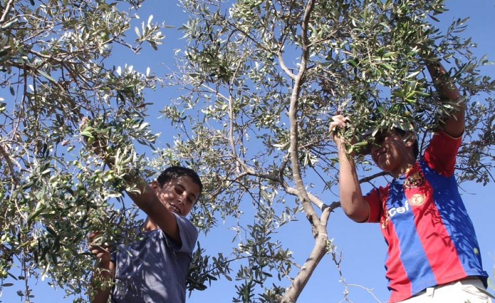 Children harvest olives in Palestine picture